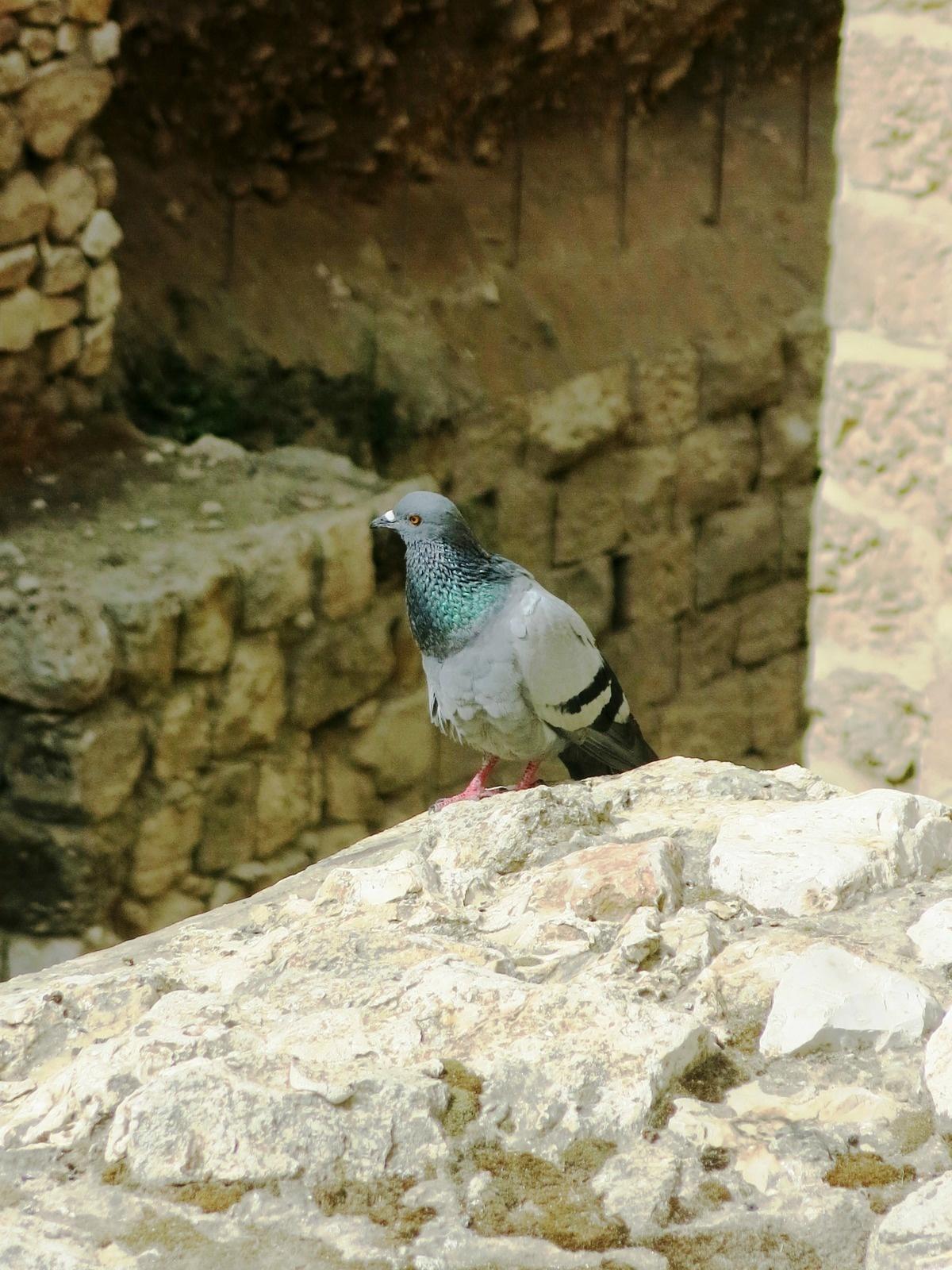 terre sainte en israel Faune et flore Pigeon