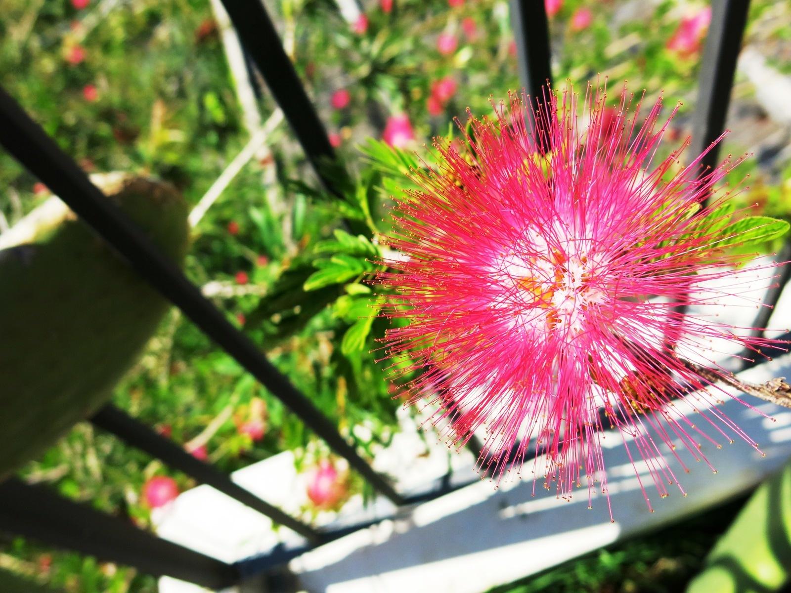 terre sainte en israel Faune et flore Fleur rouge