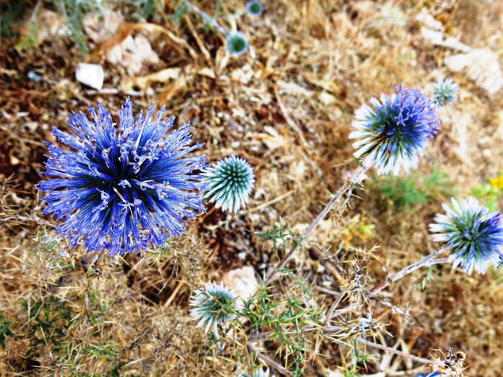terre sainte en israel Faune et fleur - Fleur chardon