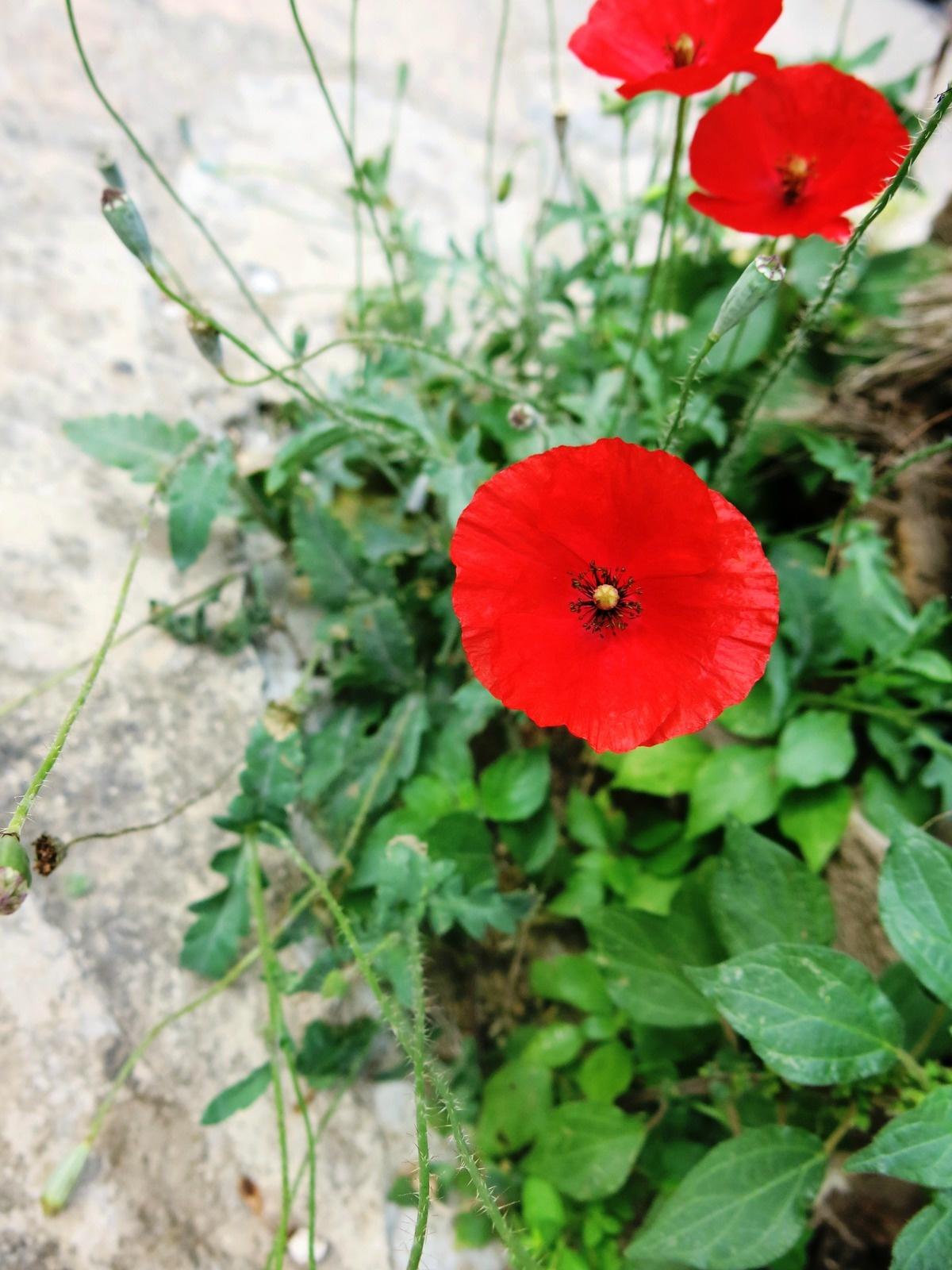 terre sainte en israel Faune et flore Coquelicot