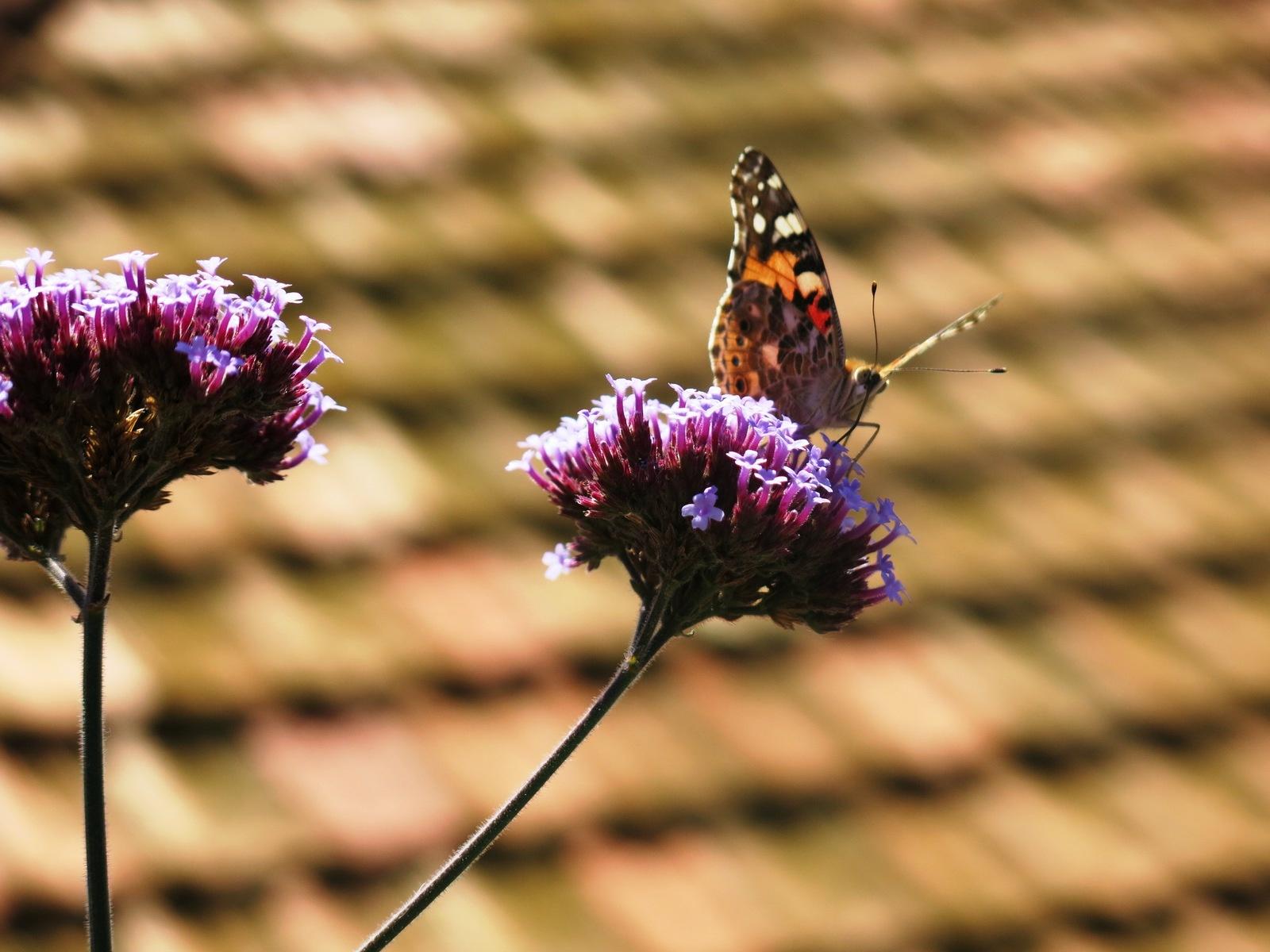 terre sainte en israel Faune et flore Papillon