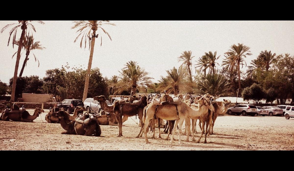 terre sainte en israel Focus Dromadaires et chameaux dans le sud du pays
