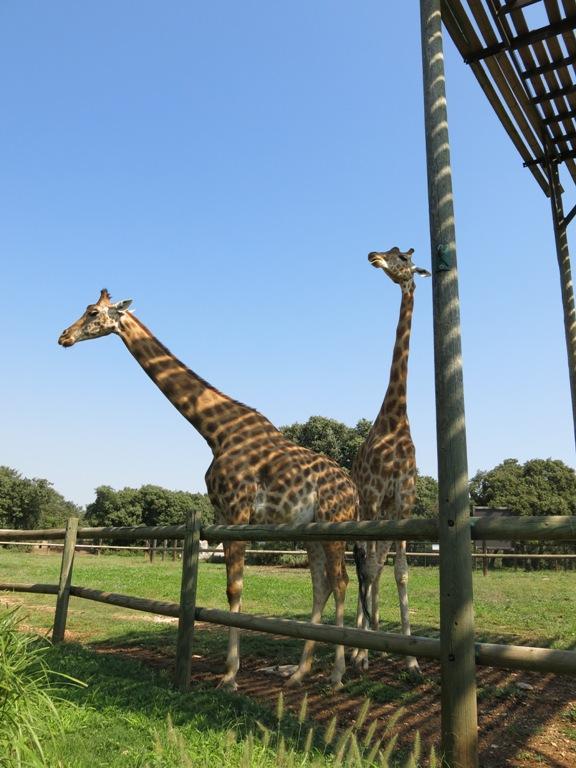 girafe-barben