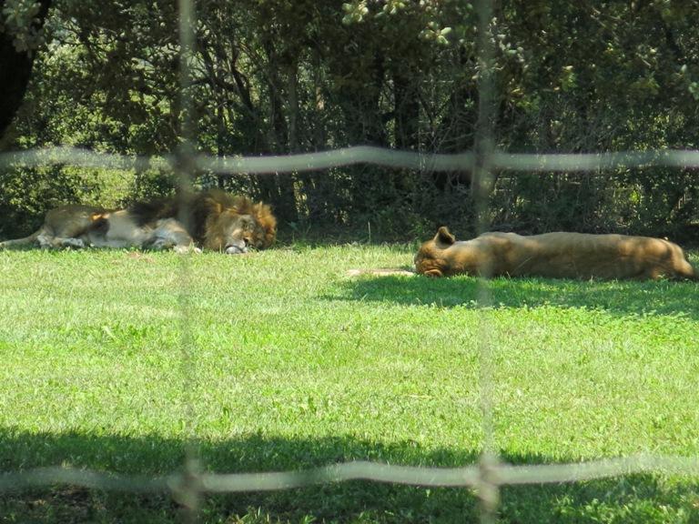 lion-barben