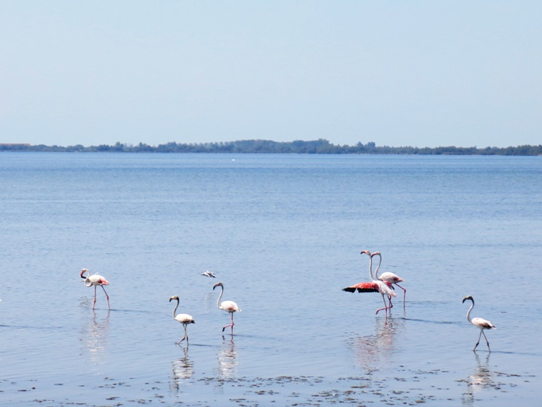 camargue-flamands-rose