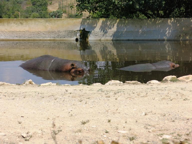 hippopotame-barben